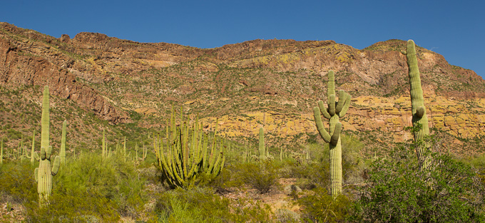 Organ Pipe and Saguaro Cacti