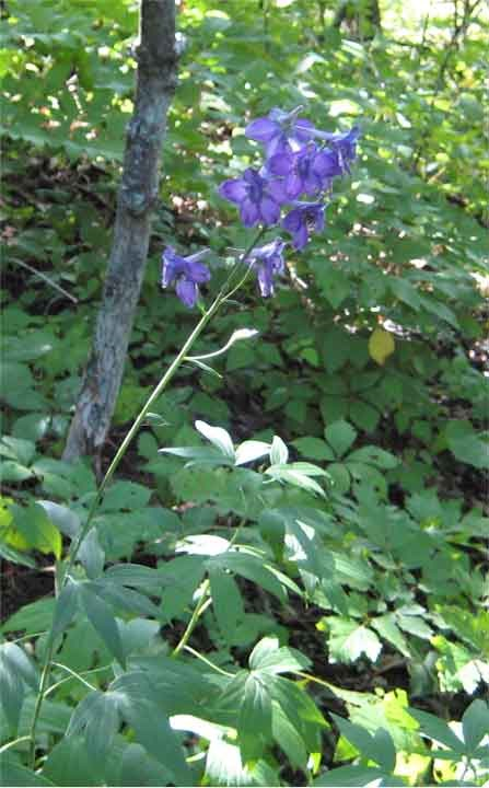 Tall Larkspur with large purple flowers