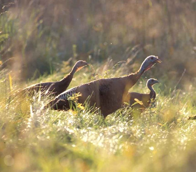 three wild turkeys in a field