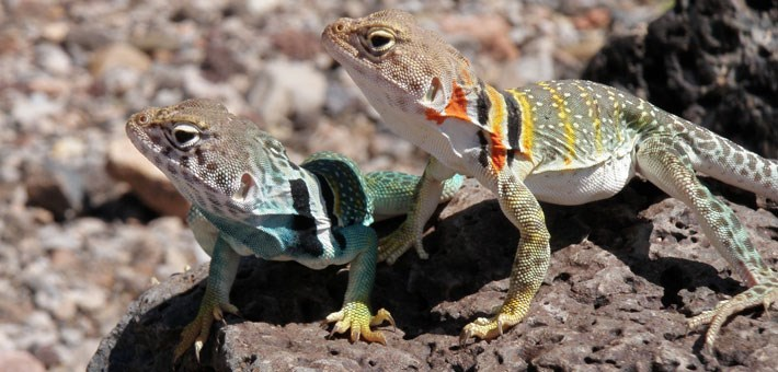Two collared lizards on rock, one is greenish and other is yellow