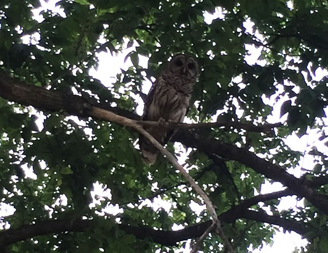 Barred Owl perched in a tree as light fades