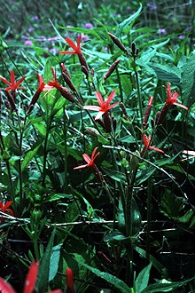 Royal catchfly with green stalks and vibrant red blooms