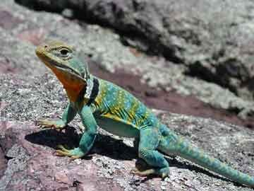 a greenish collared lizard on a rock