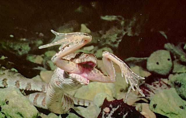 Picture of a snake eating a frog