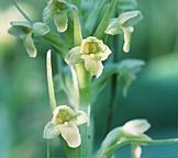 Rein orchid with small yellow flowers