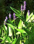 blooming pickerel weed with purple flowers