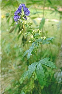 Rare Flower Discovered In Ozarks Ozark National Scenic Riverways - Where does wolfsbane grow in the us map