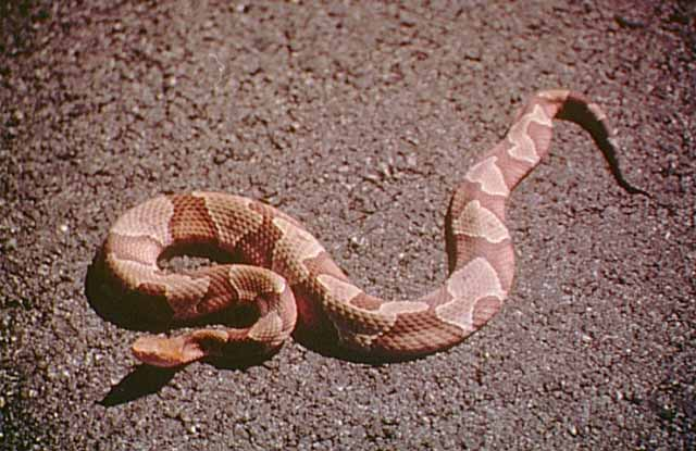 Image of a copperhead