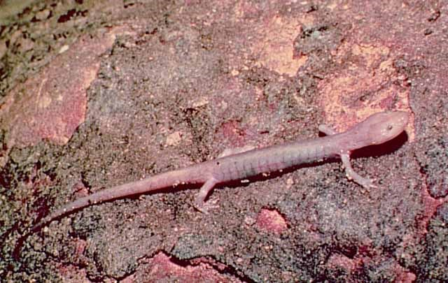 pink colored blind grotto salamander on cave wall