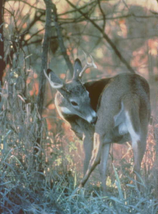 Photo of a white tailed deer