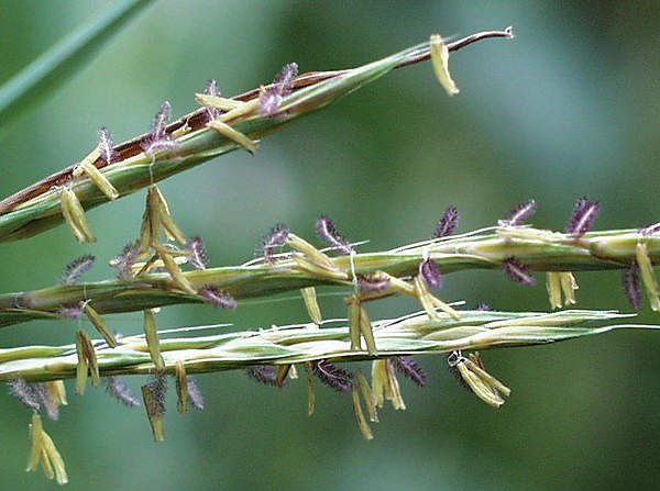 close up view of big bluestem grass