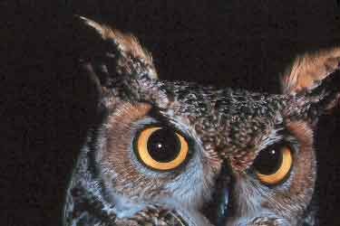 Great-Horned-Owl-npsphoto-1782