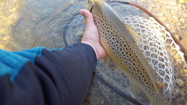 A Brown Trout caught on the Current River