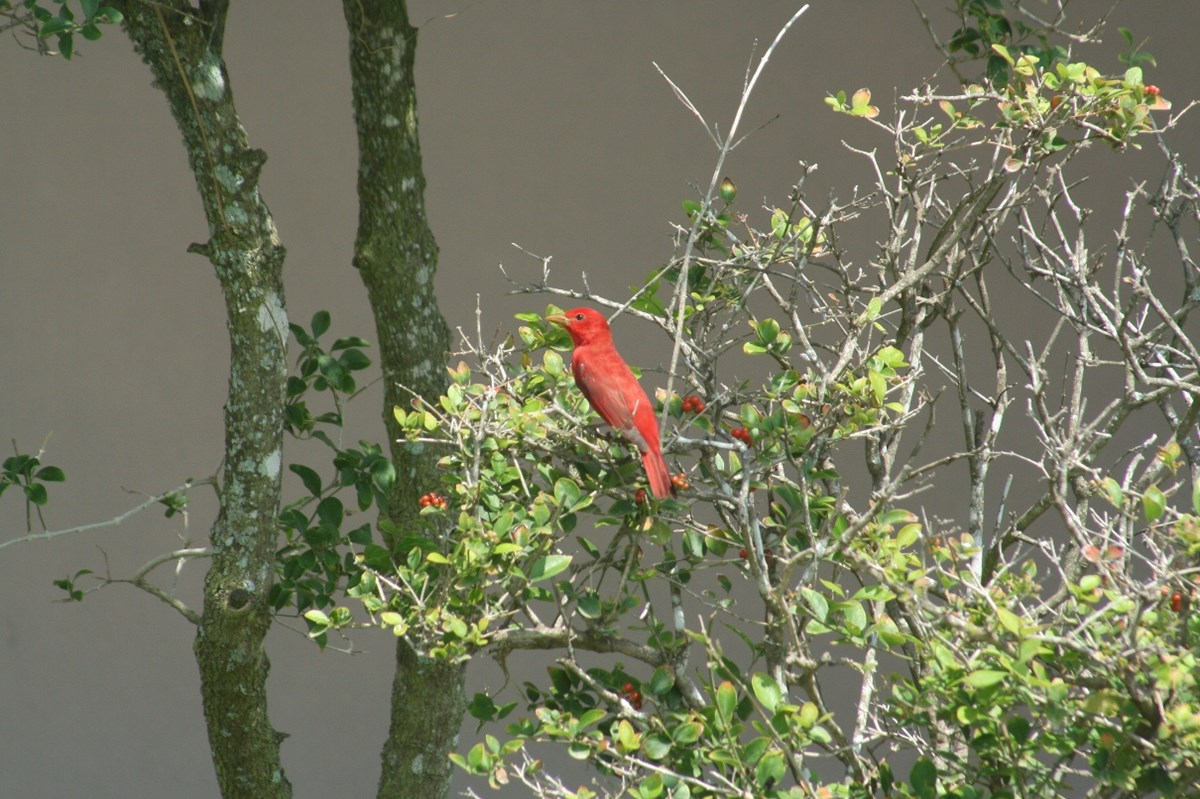 A Summer Tanager rests on a branch.