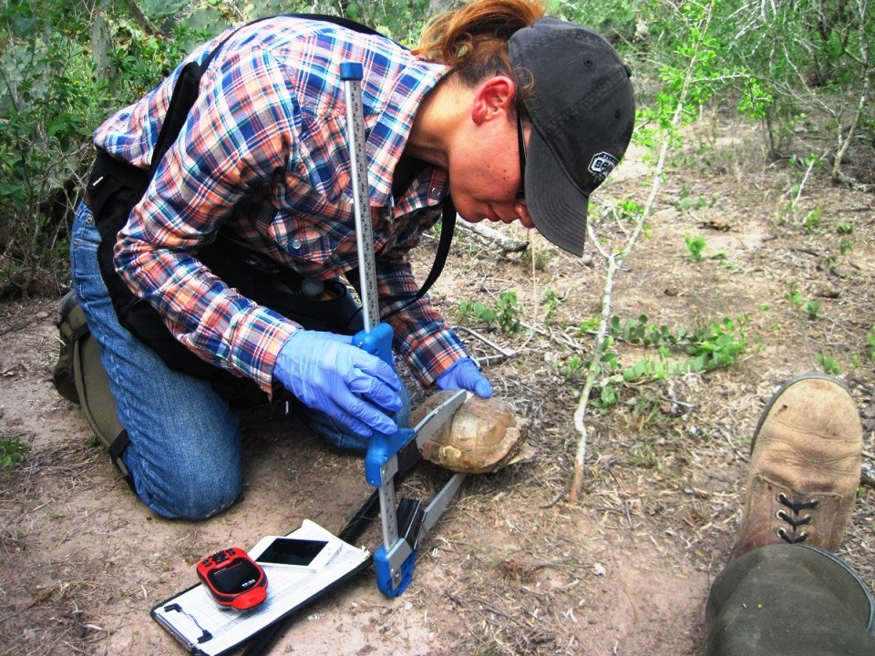 A volunteer uses a pair of calipers to measure a Texas tortoise.
