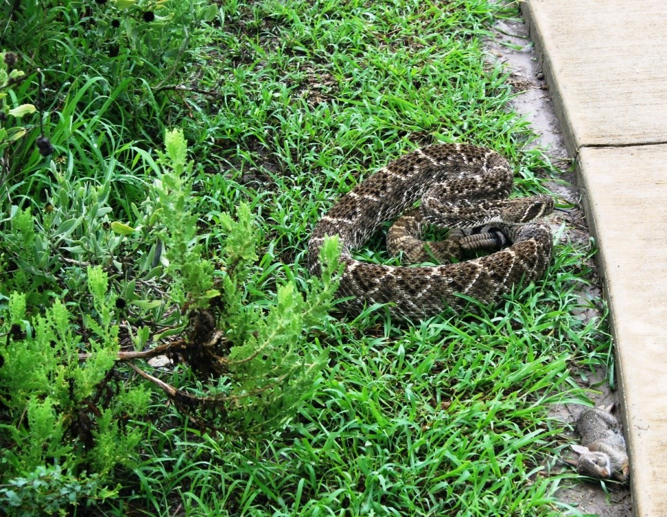 A western diamondback rattlesnake coiled up next to a sidewalk.