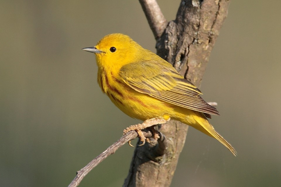An American Yellow Warbler sitting on a branch