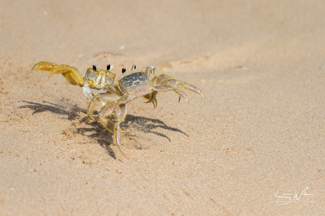 Two ghost crabs each angled with legs on one side raised looking like they are fighting