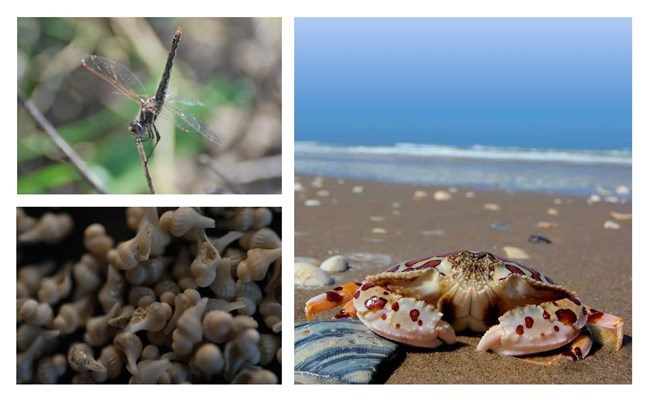 A dragonfly, newborn lightning whelks, and a calico crab at Padre Island National Seashore