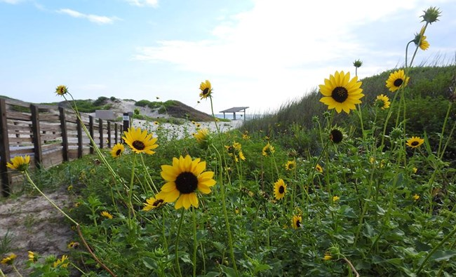 Colorful Runyon's sunflowers greet visitors along the boardwalk to Malaquite Beach
