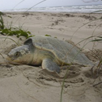 Sea Turtle Science and Recovery Index