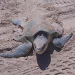 2013 Sea Turtle Nesting Season