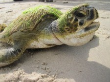 Stranded green sea turtle