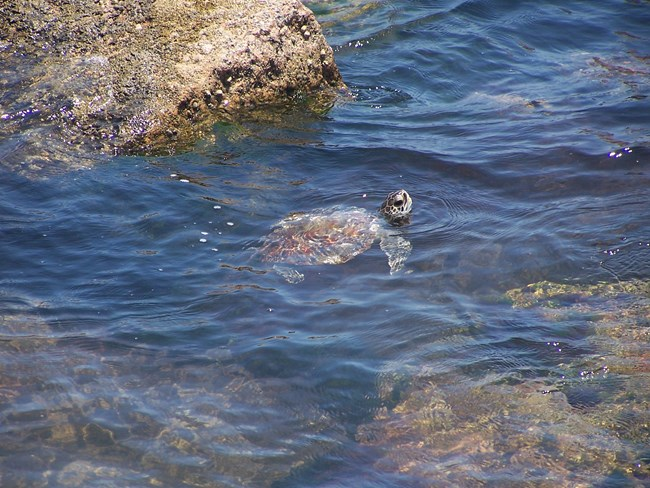 A juvenile green sea turtle swims around jetty rocks with its head out of the water.