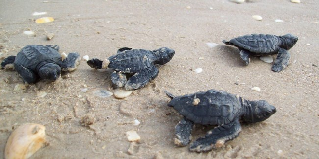 Four Kemp's ridley hatchlings crawl on the sand at Padre Island.