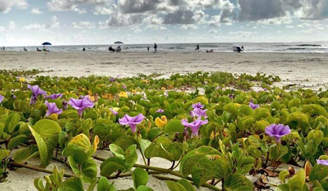 A purple-flowered vine grows across the sand while people in the background enjoy the beach.