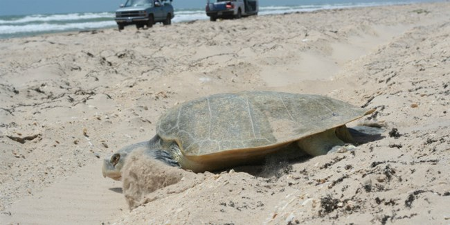A female Kemp's ridley crosses the beach driving road after nesting on Padre Island.