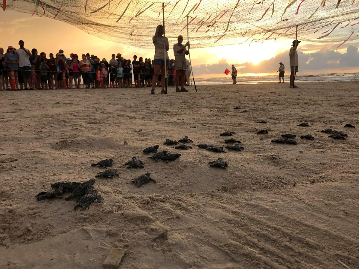 Volunteers and NPS staff holding netting over the beach at dawn while Kemp's ridley sea turtle hatchlings crawl underneath.