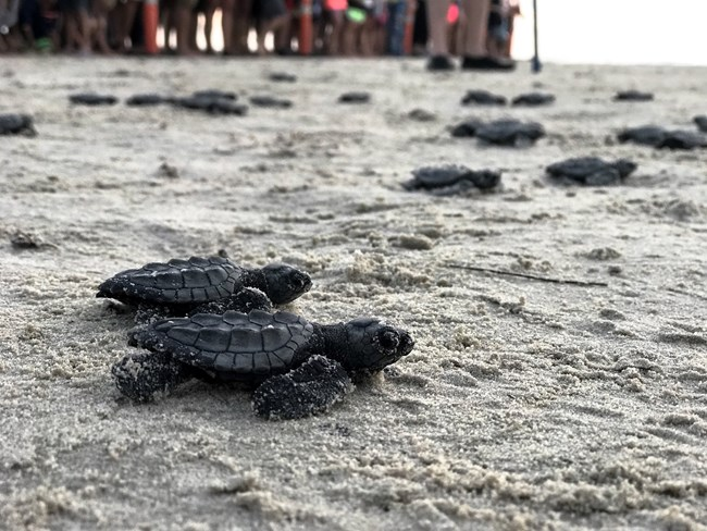 Kemp's ridley hatchlings crawl on the beach towards the ocean while in the background people stand watching.