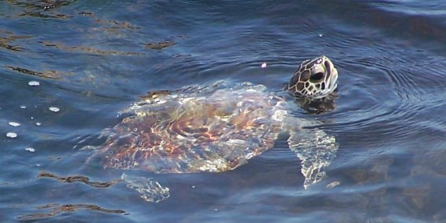 A juvenile green sea turtle swims in the water.