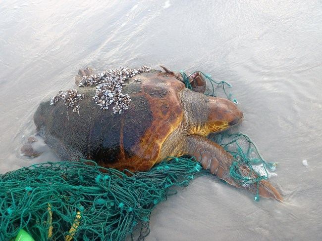 A live stranded loggerhead sea turtle laying on the beach sand entangled in a green fishing net.