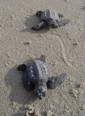 Two Kemp's ridley hatchlings
