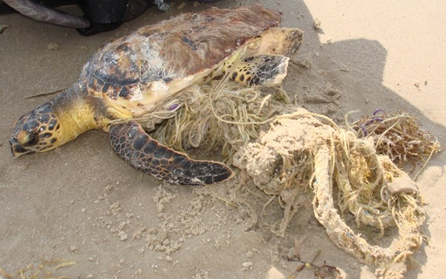 Live hawksbill entangled in rope