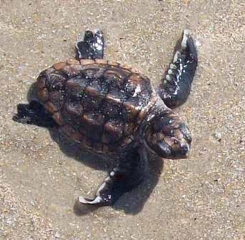 Loggerhead sea turtle hatchling on the beach