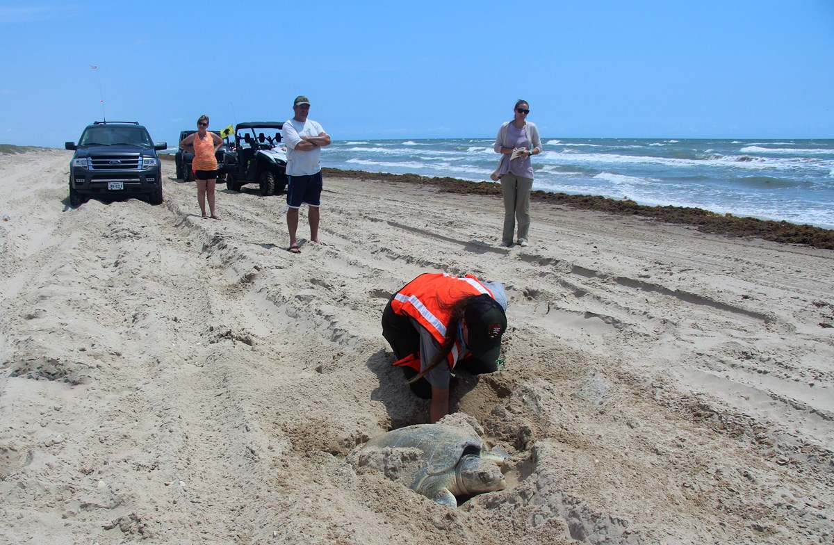 An NPS biologist examines a Kemp's ridley sea turtle for tags, as she deposits eggs in the sand.