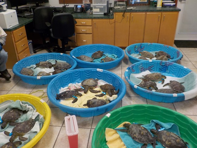 Twenty-five rescued cold stunned sea turtles rest in seven plastic kiddie pools on the floor of the Turtle Lab at Padre Island National Seashore.