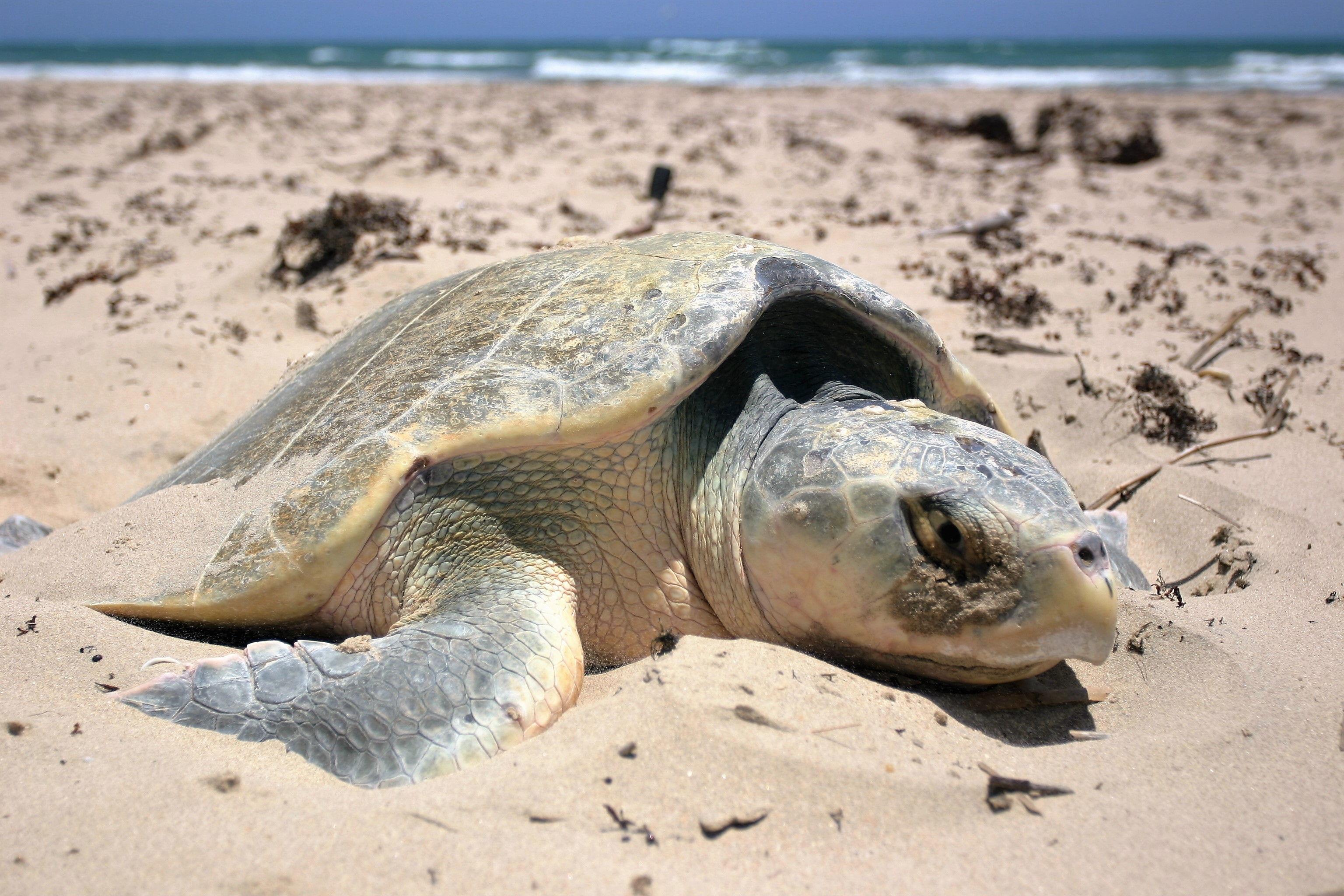 The Kemp's Ridley Sea Turtle - Padre Island National