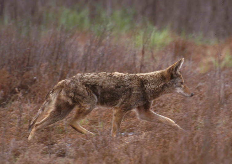 Coyote walking in the grasslands