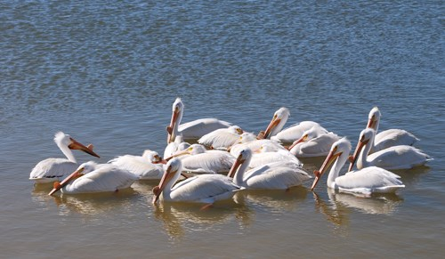 White pelicans on the Laguna Madre