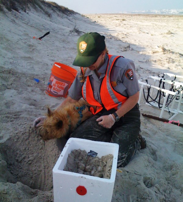 Dr. Shaver and her dog Ridley excavate a Kemp's ridley sea turtle nest.