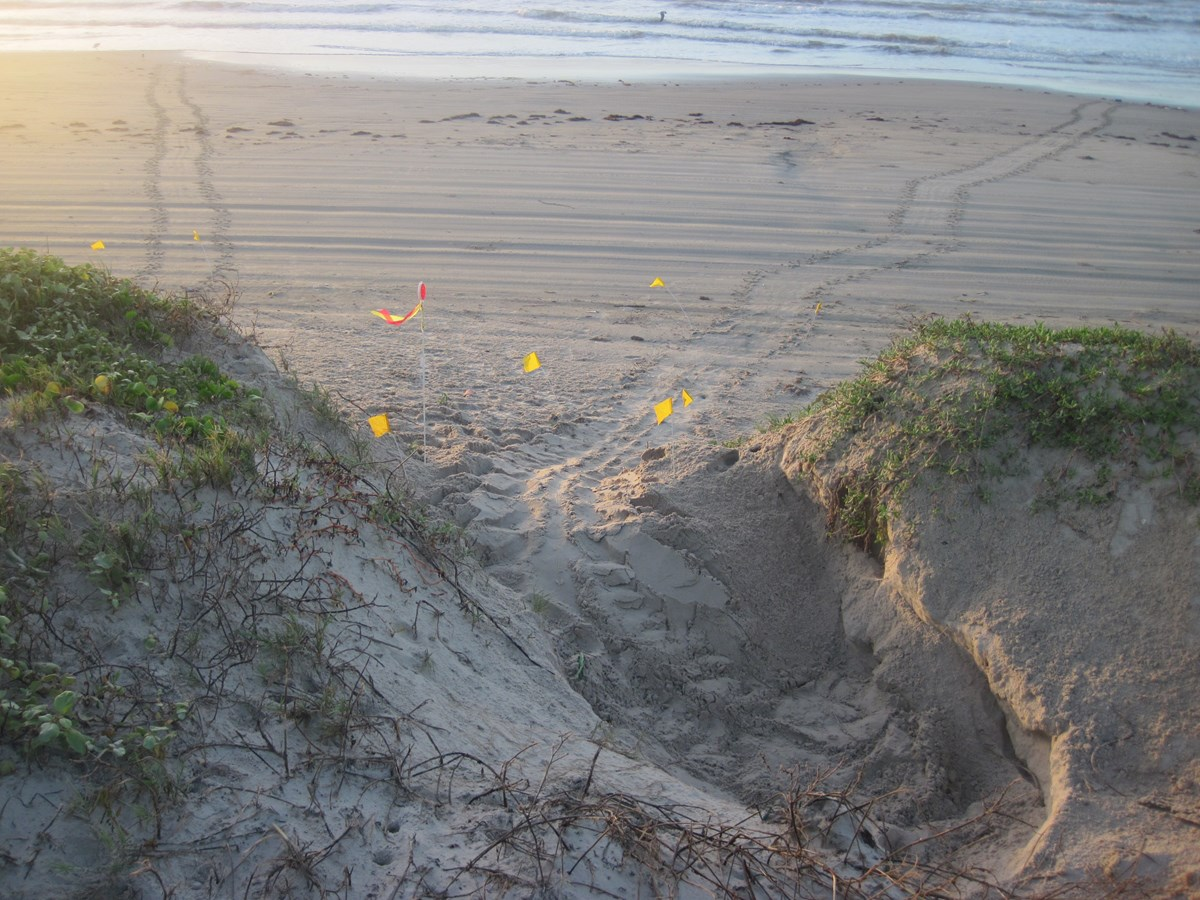 Large disturbed nest areas and tracks are made when a green sea turtles nest on the beach.