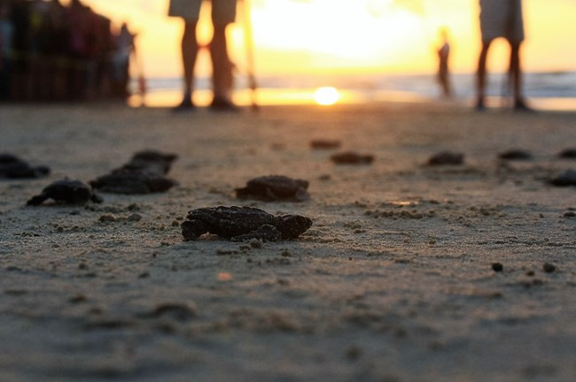 Hatchlings at Sunrise.