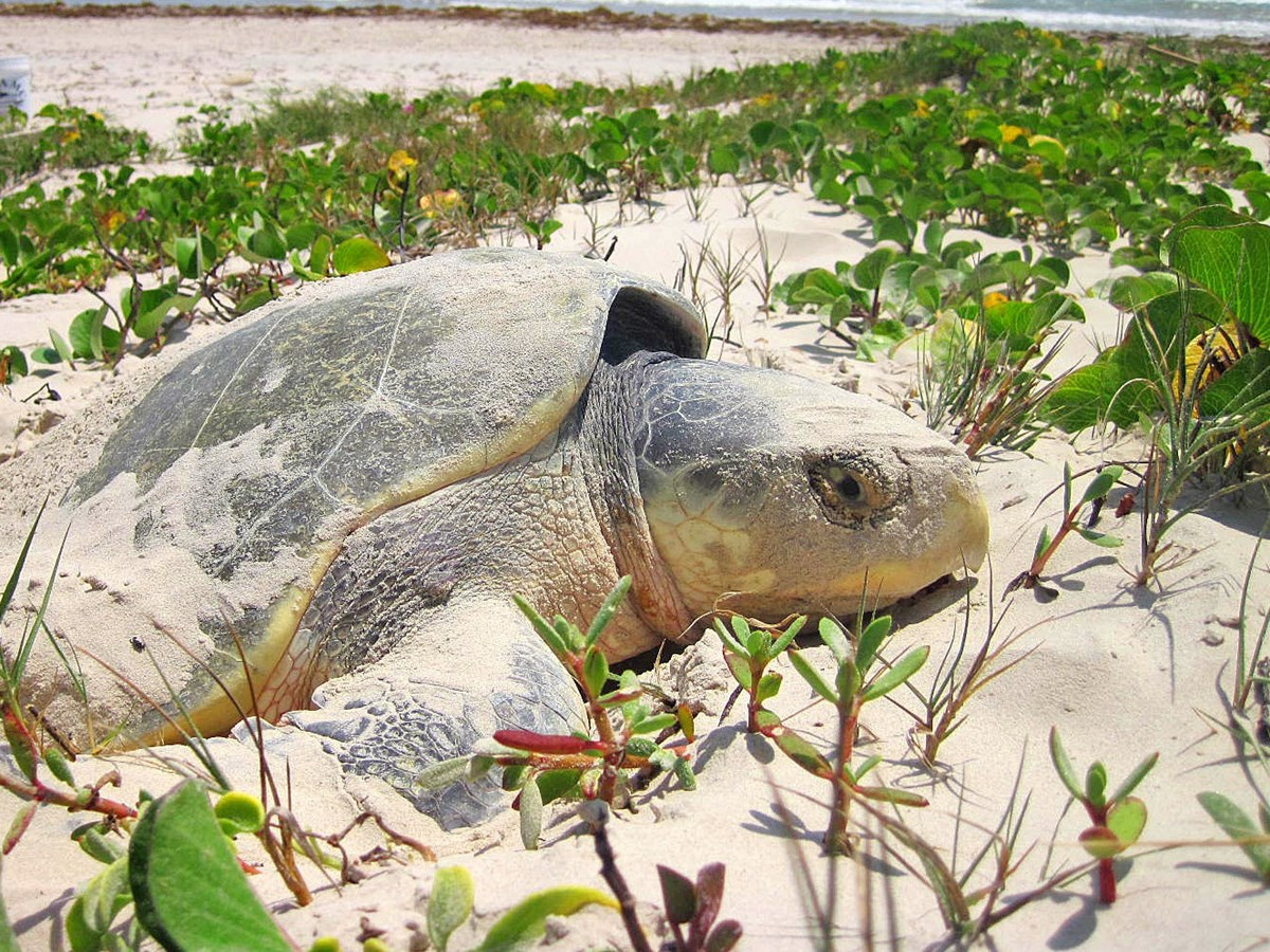 A Kemp's ridley sea turtle nesting in the sand next to green vegetation with the ocean in the background.