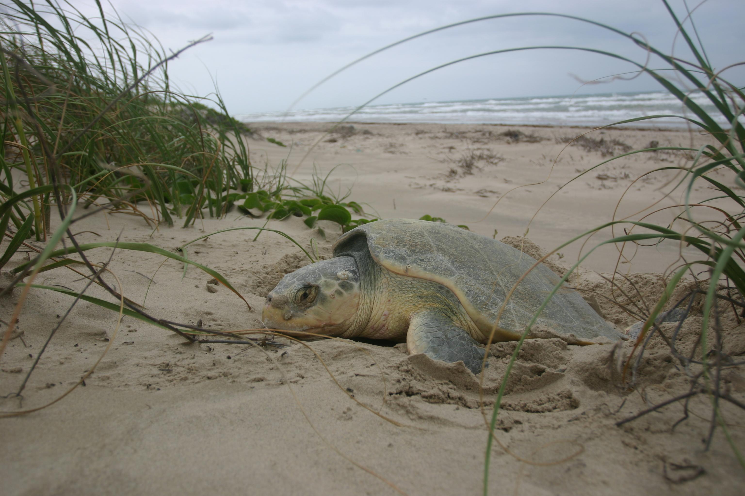 Sea Turtles in Texas Kemp's Ridley Sea Turtles