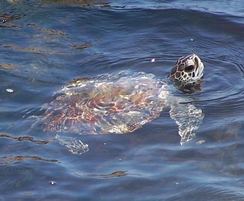 Coastal Home Sea Turtle Shell Bowl One Size