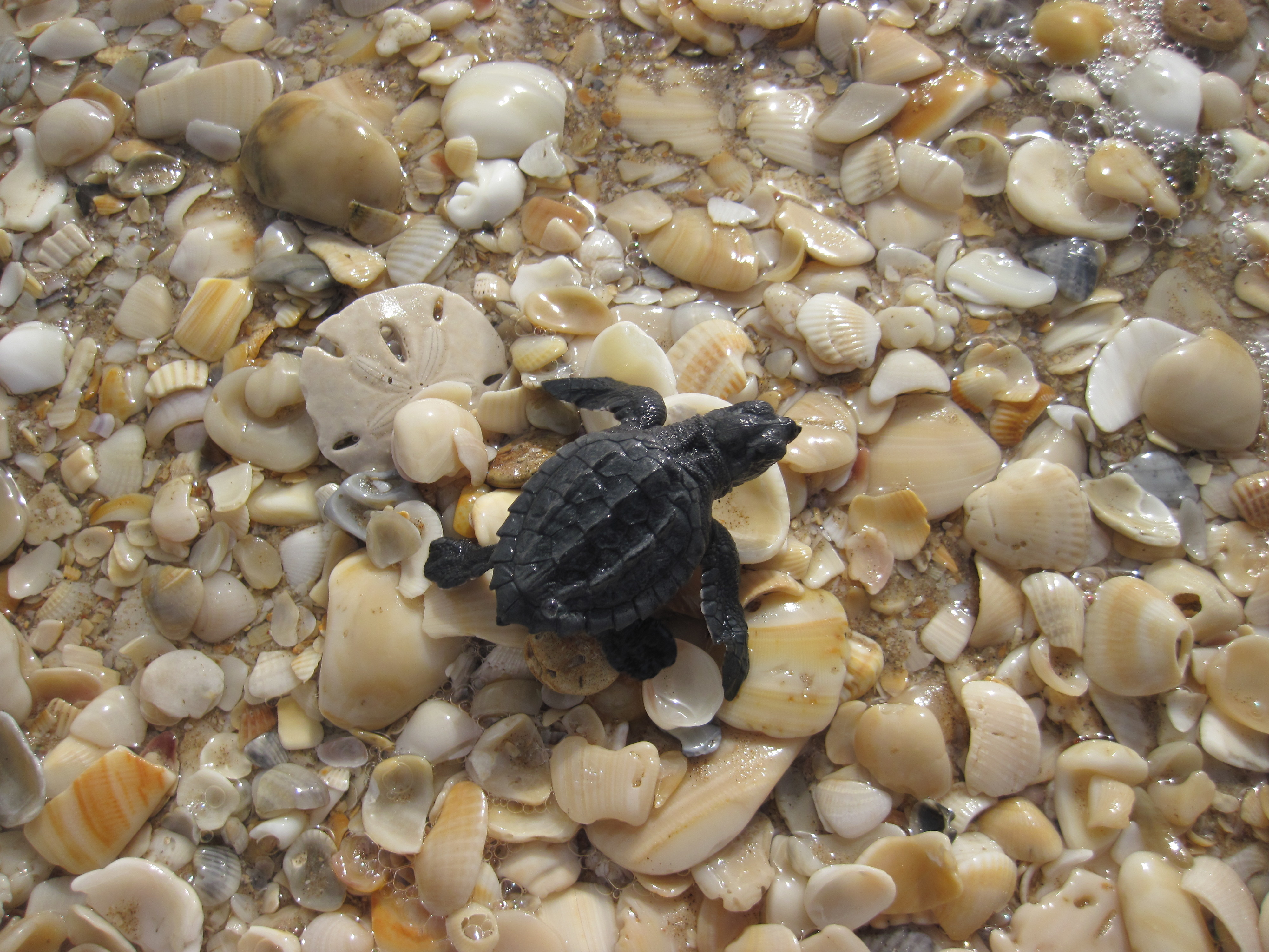 How to See a Sea Turtle Hatchling Release - Padre Island